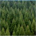 hinoki forest