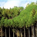 hinoki trees